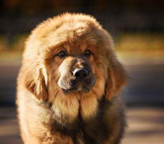 mastif tybetański cena
